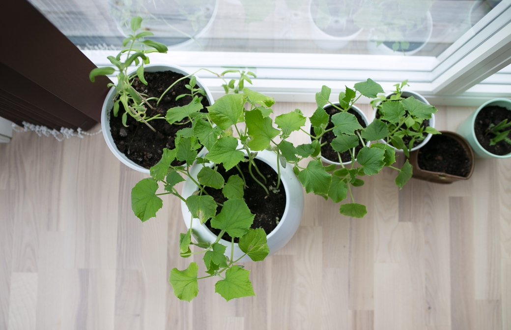 tomatplanter2